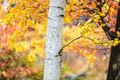 Birch Tree in the Fall print