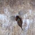 Anita,Pheasant