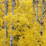 Yellow, Harmony, Twining peak, colorado, sound, of leaves, gallery, print, golden, aspens, museum, mount,