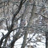 owl, shot, animal