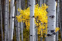 Colorado, Trees, Aspen, Fall