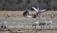 2014 Nebraska Calendar,Cranes,Sandhill, Kearney