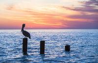 Old Naples Pier Pelican