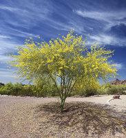 blooming, pal, verde, phoenix, arizona