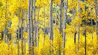Aspen, Colorado, fall, colors, trees, aspens