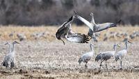 Cranes 2012