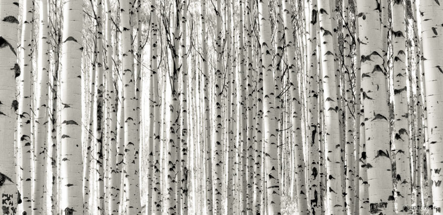 gunnison, national, forest, aspens, trees, gallery, cloned, crested, butte, colorado, image, mountain, museum, mount , photo