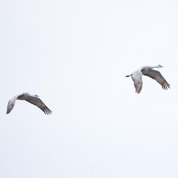 Cranes, photo