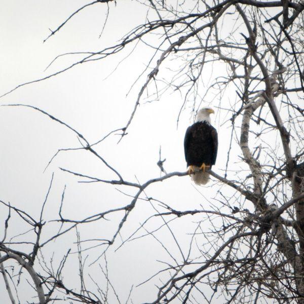 eagle, photo