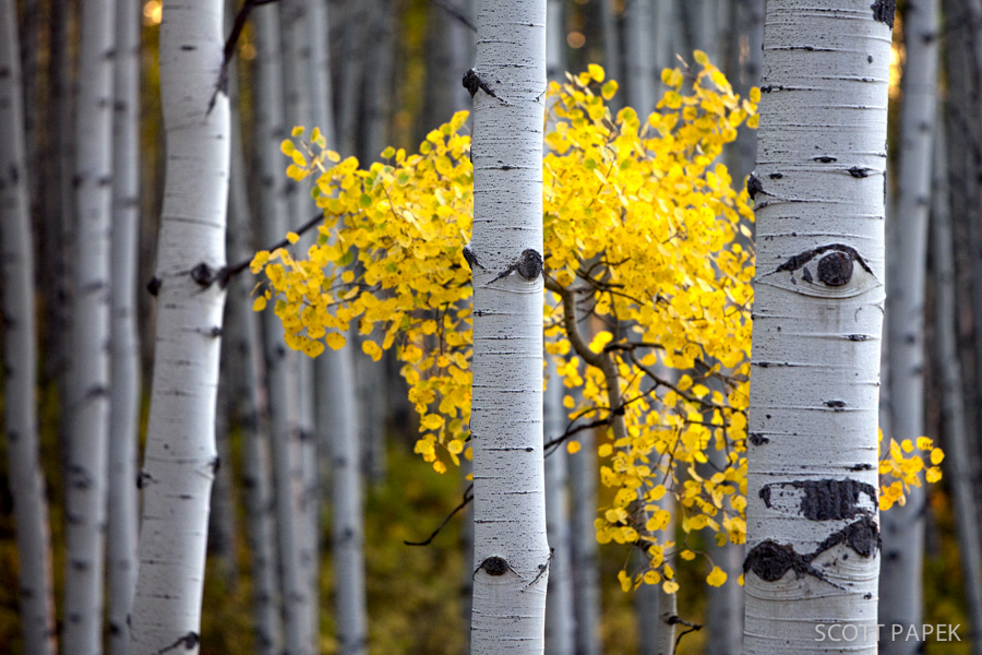 Colorado, Trees, Aspen, Fall, photo