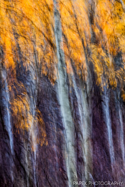 Tree, Fall, in, Wyoming, western, Idaho, aspen, foliage, yellow, orange, snow, storm, and, photograph, painting, verticle, pano, abstract,, photo