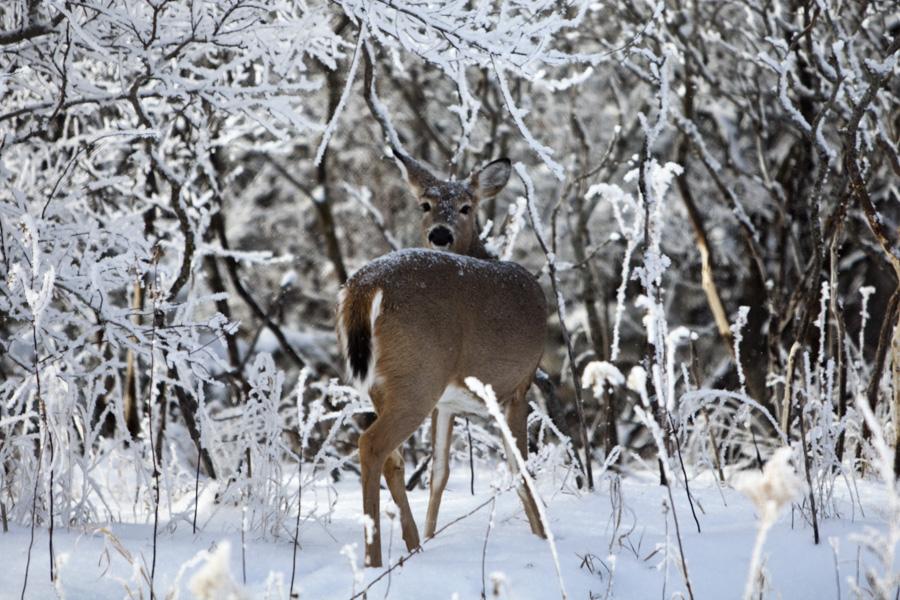 2014 Nebraska Calendar, deer, frost, wildlife, photography, photo