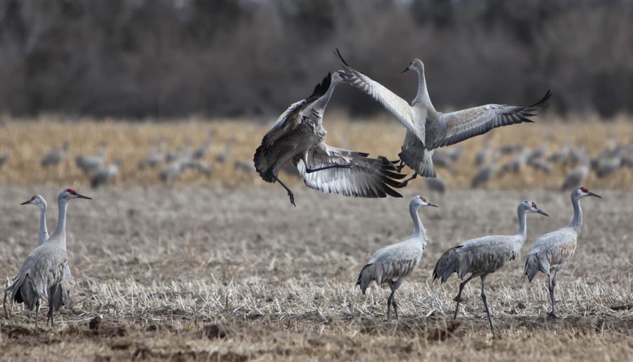 2014 Nebraska Calendar,Cranes,Sandhill, Kearney , photo