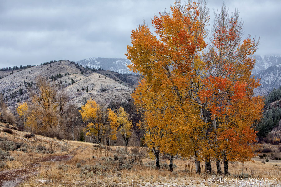 Tree, Fall, in, Wyoming, western, Idaho, aspen, foliage, yellow, orange, snow, storm, and, photograph, photo