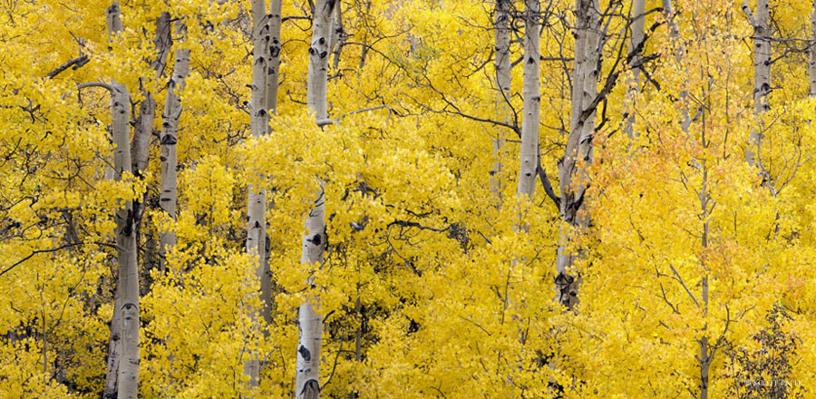 Yellow, Harmony, Twining peak, colorado, sound, of leaves, gallery, print, golden, aspens, museum, mount, , photo