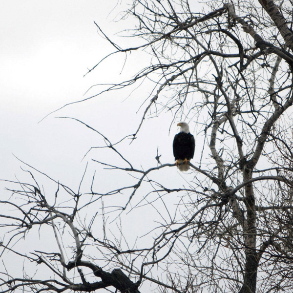 Nature, eagle, photography, prints, photo