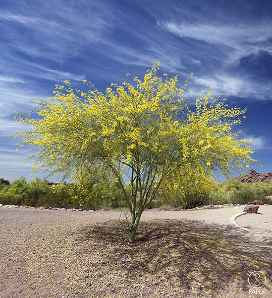 blooming, pal, verde, phoenix, arizona, photo