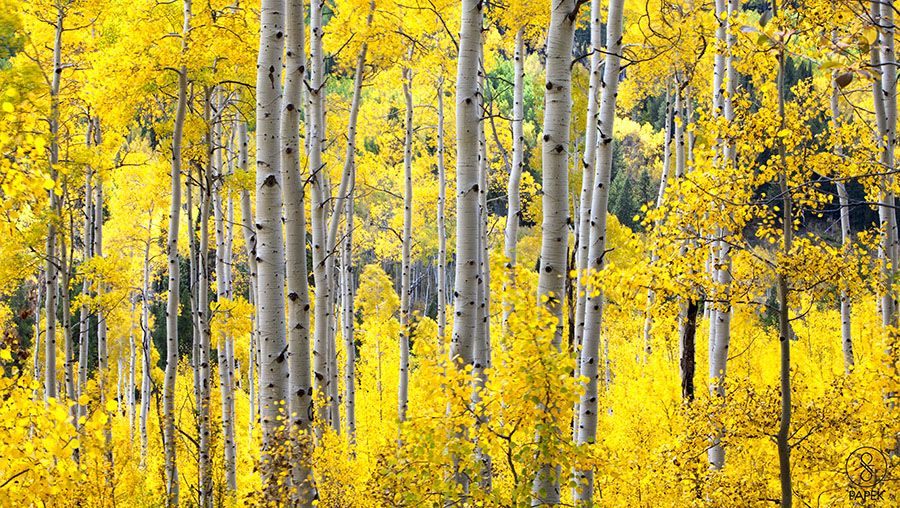 Aspen, Colorado, fall, colors, trees, aspens, photo