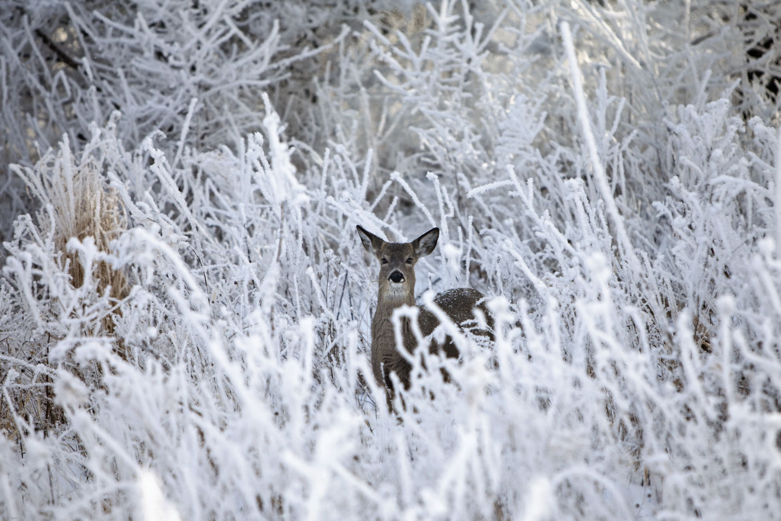 Anita, deer